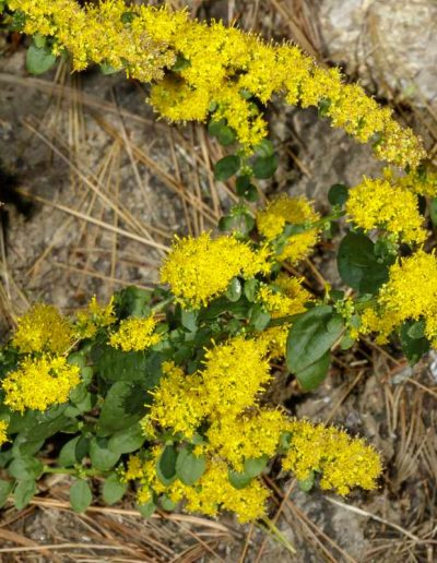 Autumn Goldenrod: Solidago sphacelata