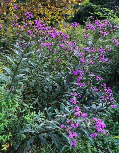 New York Ironweed: Vernonia noveboracensis