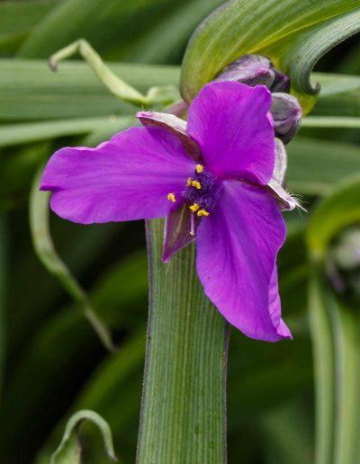 Spiderwort: Tradescantia virginiana