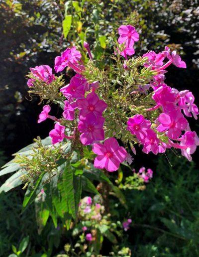 Summer Phlox: Phlox paniculata