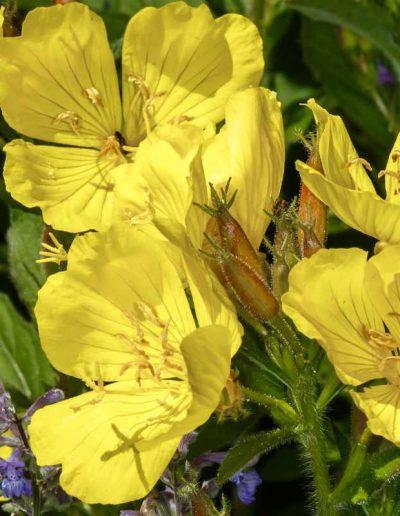 Sundrops: Oenothera fruitcosa