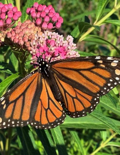Swamp Milkweed: Asclepias incarnata with monarch butterfly