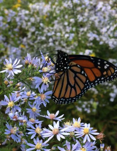 Blue Wood Aster Symphyotrichum cordifolium visited by Monarch butterfly