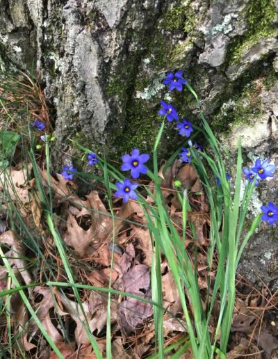 Blue-eyed Grass Sisyrinchium angustifolium