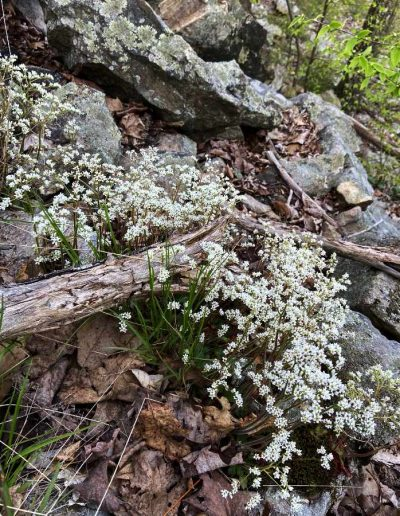 Early Saxifrage Micranthes virginiensis