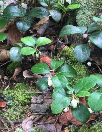 Eastern Teaberry Gaultheria procumbens