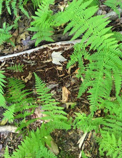 Hay-scented fern Dennstaedtia punctilobula