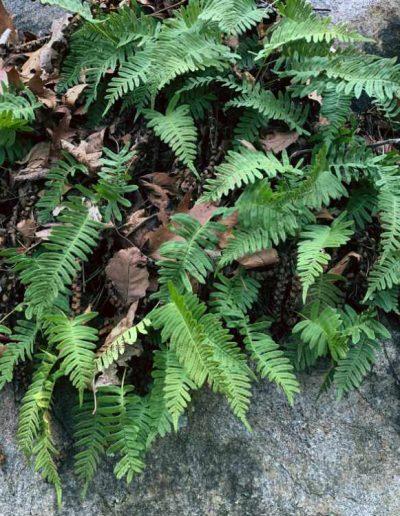 Rock Polypody Polypodium virginianum