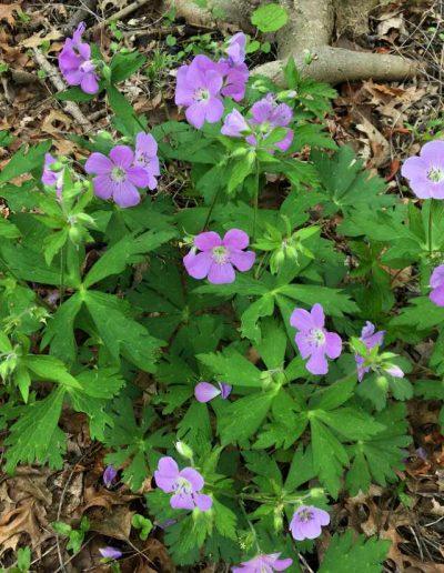 Wild Geranimum Geranium maculatum