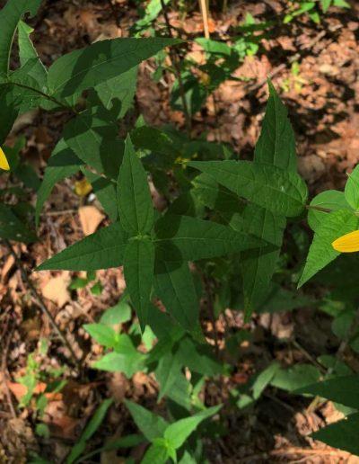 Woodland Sunflower Helianthus divaricatus