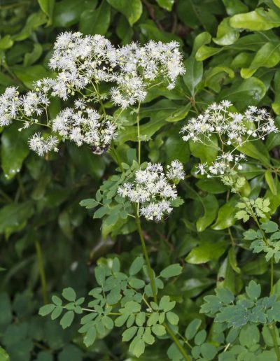 Tall Meadow Ruse Thalictrum pubescens