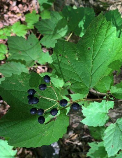 Mapleleaf Viburnum Viburnum acerifolium