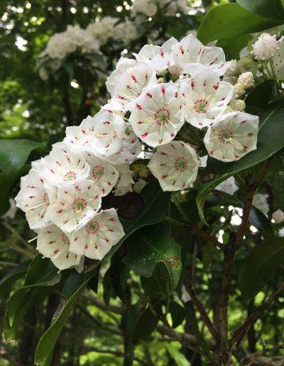 Mountain Laurel Kalmia latifolia