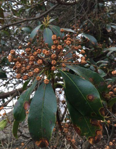 Mountain Laurel Kalmia latifolia fruit capsule