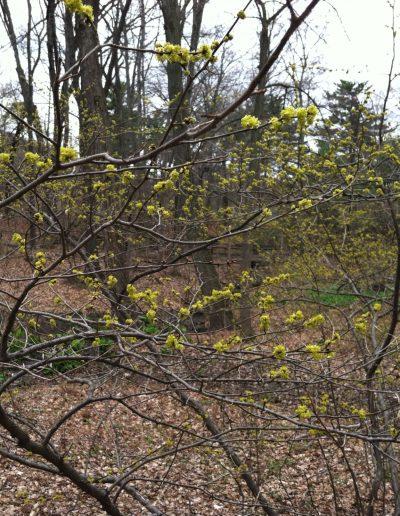 Spicebush Lindera benzoin