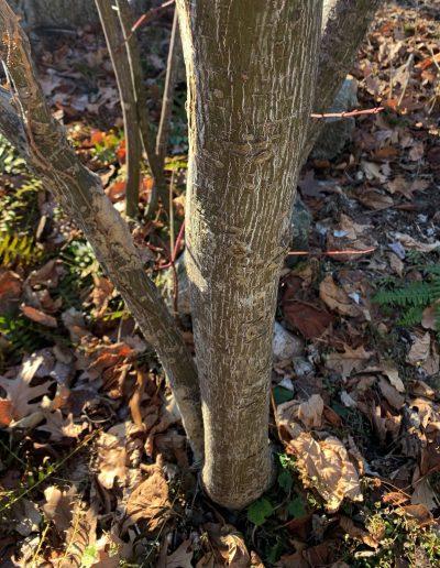 Striped Maple Acer pensylvanicum