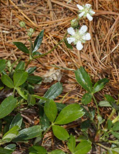Three-toothed Cinquefoil Potentilla tridentale