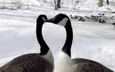 How do geese and other birds survive the winter