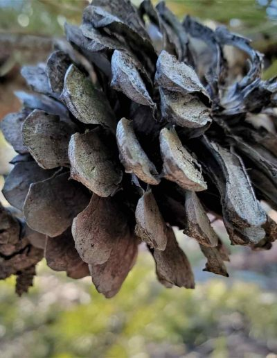Pitch Pine Cone Pinus Rigida