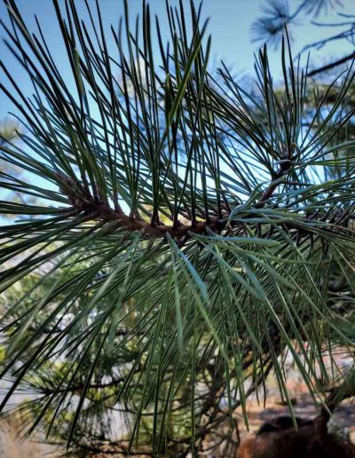 Pitch Pine Needles of Pinus Rigida