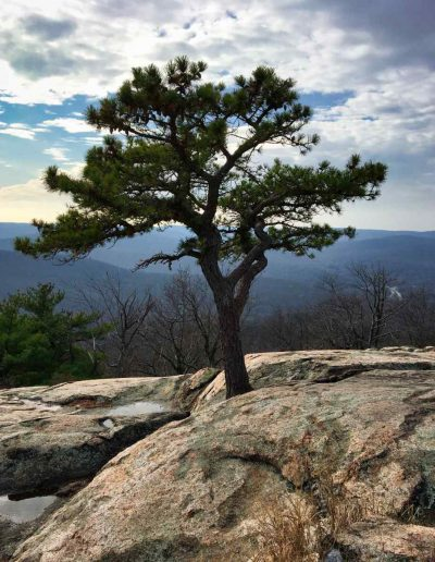 Pitch Pine: Pinus rigida on Bear Mountain