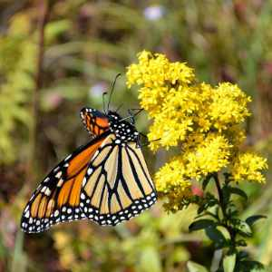 Monarch Butterfly on yellow flower at Trailside Museums and Zoo