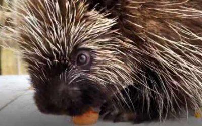 Animal Spotlight – North American Porcupine