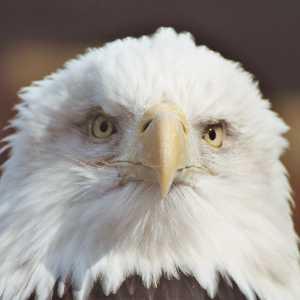 Bald Eagle at Trailside Zoo